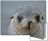 Close Up Portrait of a Southern Fur Seal Pup Posters by Kike Calvo