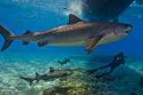 Portrait of a Tiger Shark Swimming Underneath a Boat. More Swim Near a Diver Photographic Print by Jim Abernethy