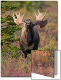 A Bull Moose, Alces Alces, Lifts His Head and Flemings Prints by Barrett Hedges