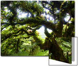 Cocos Island, Costa Rica: the Cloud Forests of Cocos Island Give the Trees a Fuzzy Appearance Prints by Ben Horton