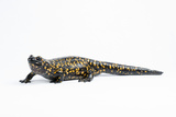 An Iranian Fire Salamander, Salamandra Seminovi Photographic Print by Joel Sartore