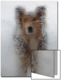 A Mixed Breed Dog Peers Through a Glass Door Covered in Ice Created by Moisture Inside the House Prints by Al Petteway