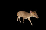 A Reeves' Muntjac, Muntiacus Reevesi, at the Lincoln Children's Zoo Photographic Print by Joel Sartore