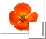 Oriental Poppy Flower, Papaver Orientale, Close Up Posters by Robert Llewellyn