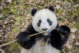 Portrait of a Captive-Born Giant Panda Eating Bamboo Fotodruck von Ami Vitale