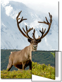 Mount Mckinley Looming over a Caribou, Rangifer Tarandus, in Denali National Park Posters by Barrett Hedges