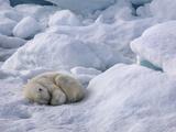 A Polar Bear, Ursus Maritimus, Sleeping on Ice in Davis Strait Photographic Print by Jay Dickman