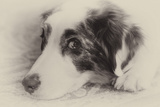 Close-Up Black and White Portrait of an Australian Shepherd's Face Photographic Print by Al Petteway