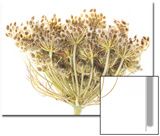 A Spent Queen Anne's Lace Flower, Daucus Carota, Going to Seed Prints by Robert Llewellyn