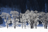Ice and Snow Highlight Tree Branches in a Snowy Landscape Photographic Print by Robbie George