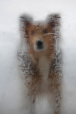 A Mixed Breed Dog Peers Through a Glass Door Covered in Ice Created by Moisture Inside the House Photographic Print by Al Petteway