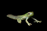 Metamorphosis of a Roque Treefrog, Hyloscirtus Phyllognathus Photographic Print by Joel Sartore