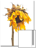 Dried Up Sunflower, Helianthus Annuus Posters by Robert Llewellyn