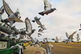 Homing Pigeons Fly Out of a Truck Photographic Print by Will Van Overbeek