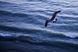 Baja California, Mexico: A Seagull from Above Reproduction photographique par Ben Horton