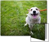 Close Up Portrait of an Adoptable Corgi Dog on a Leash Outdoors Prints by Hannele Lahti