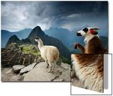 Llamas Overlook the Pre-Columbian Inca Ruins of Machu Picchu Prints by Jim Richardson