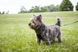 Portrait of a Cairn Terrier on a Leash in a Field Photographic Print by Hannele Lahti
