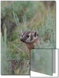 Portrait of a Badger Peeking Out from Sagebrush Prints by Tom Murphy