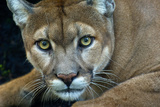 A Captive Florida Panther at a Ranch Near Fort Myers, Florida Photographic Print by Carlton Ward