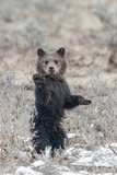 A Grizzly Cub Stands on its Hind Legs and Lifts its Paw Photographic Print by Tom Murphy