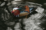 A Mandarin Duck, Aix Galericulata, Swimming in a Pond Photographic Print by Cagan Sekercioglu