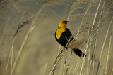 A Yellow-Headed Blackbird Perches in Prairie Grass Photographic Print by Michael Forsberg