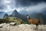 A Llama Overlooks the Pre-Columbian Inca Ruins of Machu Picchu Photographic Print by Jim Richardson