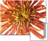 Spider Chrysanthemum Flower, Chrysanthemum Morifolium Prints by Robert Llewellyn