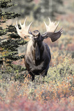A Bull Moose, Alces Alces, Lifts His Head and Flemings Fotografisk tryk af Barrett Hedges