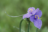 Close Up of a Purple Spiderwort Flower Photographic Print by Michael Forsberg