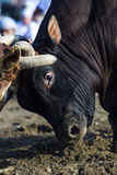 A Pair of Large Brahman Bull Heads Collide and Lock Horns During a Traditional Bull Fight Photographic Print by Jason Edwards