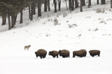 A Gray Wolf, Canis Lupus, Near a Herd of American Bison, Bison Bison Photographic Print by Robbie George