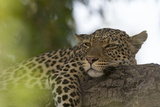 A Leopard, Panthera Pardus, Resting on a Tree Branch Photographic Print by Sergio Pitamitz