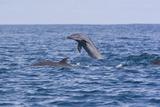 Pacific Spotted Dolphins, Stenella Attenuata, Swim Off the Coast of Costa Rica Photographic Print by Gabby Salazar