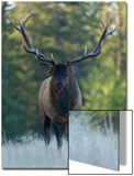 A Bull Elk, Cervus Canadensis, Stands in a Frost Covered Meadow Posters by Barrett Hedges