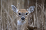Close Up Portrait of a White-Tailed Deer, Odocoileus Virginianus Photographic Print by Robbie George