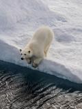 Portrait of a Polar Bear, Ursus Maritimus, on an Ice Floe at the Water's Edge Lámina fotográfica por Jay Dickman