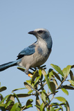 Portrait of a Tagged Scrub Jay Perching in a Tree Photographic Print by Carlton Ward