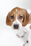 Close Up Portrait of a Cute and Adoptable Coon Hound Puppy, Looking at the Camera Photographic Print by Hannele Lahti