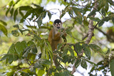 Central American Squirrel Monkey, Saimiri Oerstedii, in a Tree Photographic Print by Gabby Salazar