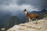 A Llama Stands on a Terrace High in the Andes Photographic Print by Jim Richardson