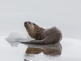 A Northern River Otter Looks Up from Icy Waters Photographic Print by Tom Murphy