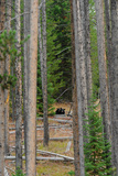 A Black Bear and its Cub Peer Through the Trees Photographic Print by Michael Forsberg