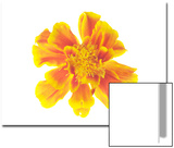 Marigold Flower, Tagetes Species Poster by Robert Llewellyn