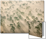 Longleaf Pines in Morning Fog Posters by Carlton Ward