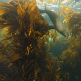 A Sea Lion Swims in a Bed of Kelp Off Santa Barbara Island Photographic Print by Cesare Naldi