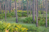 Saw Palmettos and Pine Flatwoods on the Hendrie Ranch in Highlands County, Florida Photographic Print by Carlton Ward