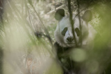 A Giant Panda Partially Obscured by Vegetation Fotodruck von Ami Vitale