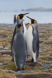 Four Adult King Penguins Stand on a Beach Photographic Print by Tom Murphy